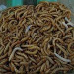 larves de ténébrions ou vers de farine pour les premiers essais