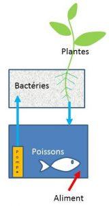 Schéma du principe commun à tous les systèmes aquaponiques