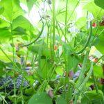 haricots verts en aquaponie