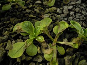 Phytotoxicité sur mâche d'un apport foliaire de fer DTPA sur-dosé