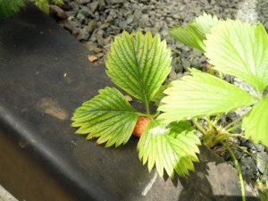 Des feuilles âgées de fraisiers avec décoloration internervaire causée par une virose et non pas par une carence en magnésie.
