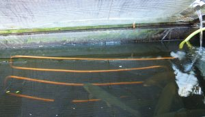 Refroidir l'eau des bassins à truite via un serpentin en cuivre dans lequel circule une eau à 15°C