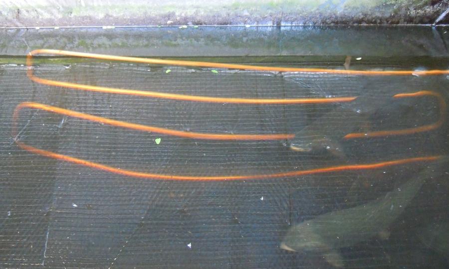 12  mètres de serpentin  dans lesquels circule de l'au à 15°.  Permet d'abaisser de 2° en 24 heures la température de  3500 litres d'eau