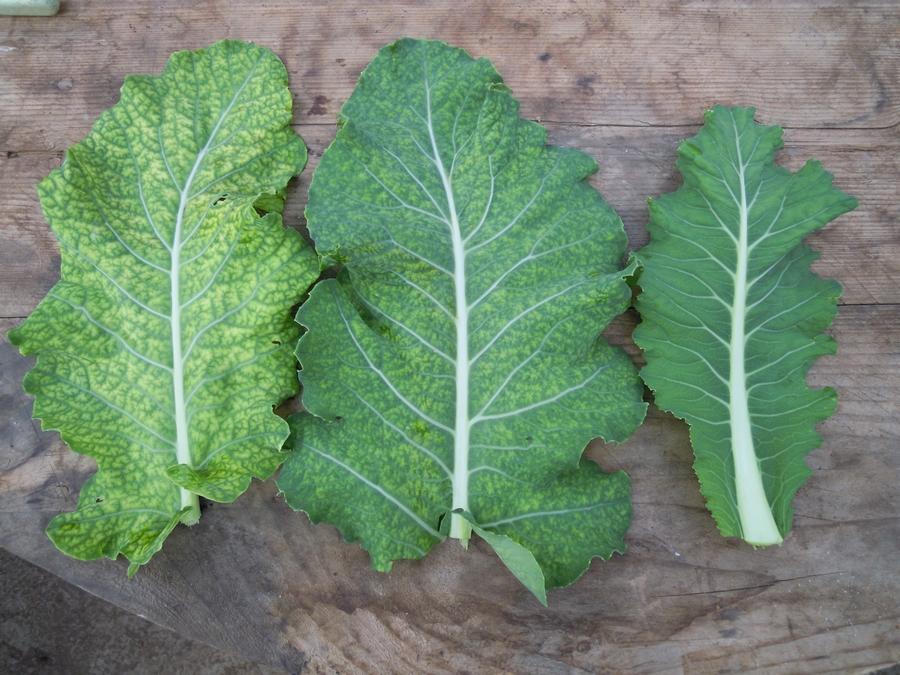 Traitement des carences : ici, celle du fer sur chou pendant 1,5 mois. Les feuilles agées sont restées avec une carence en fer très marquée. Les feuilles intermédiaires présentent des synptômes moins prononcés tandis que les feuilles plus récentes sont bien vertes.