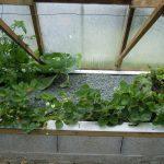 Légumes pleine terre au 15/06/2019 - vue 5