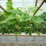 Légumes pleine terre au 01/07/2019 - vue 5