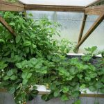 Légumes pleine terre au01/08/2019 - vue 7