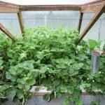 Légumes pleine terre au15/08/2019 - vue 7