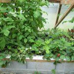 Légumes pleine terre au01/08/2019 - vue 6