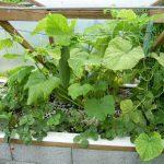 Légumes pleine terre au01/08/2019 - vue 4