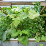 Légumes pleine terre au15/08/2019 - vue 4