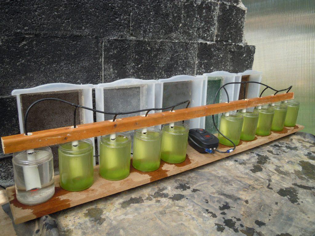 Test de ulture de microalgues dans un bioréacteur fait maison, dans le but de produire un aliment adapté pour les truites