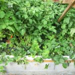 Légumes pleine terre au01/09/2019 - vue 6