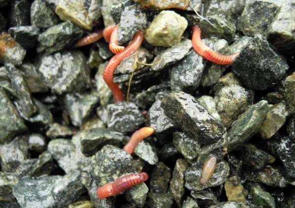 Des vers de compost en quantité dans le substrat pour décomposer la matière organique