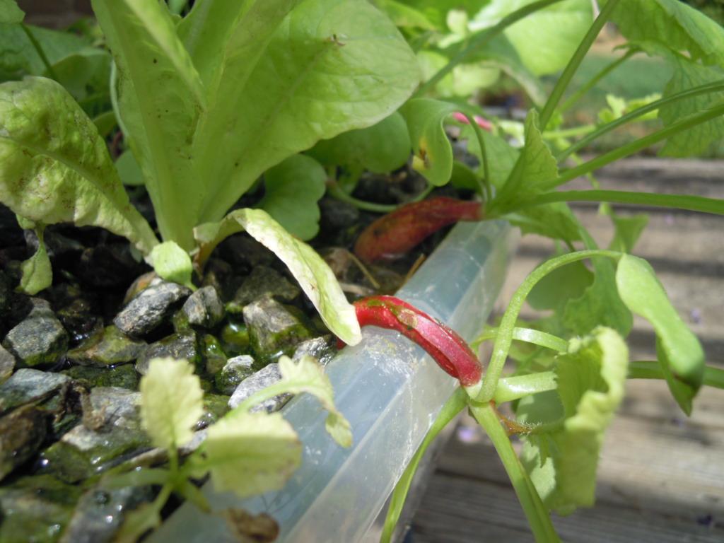 Les premiers radis après 1 mois de culture dans le module pédagogique aquaponique