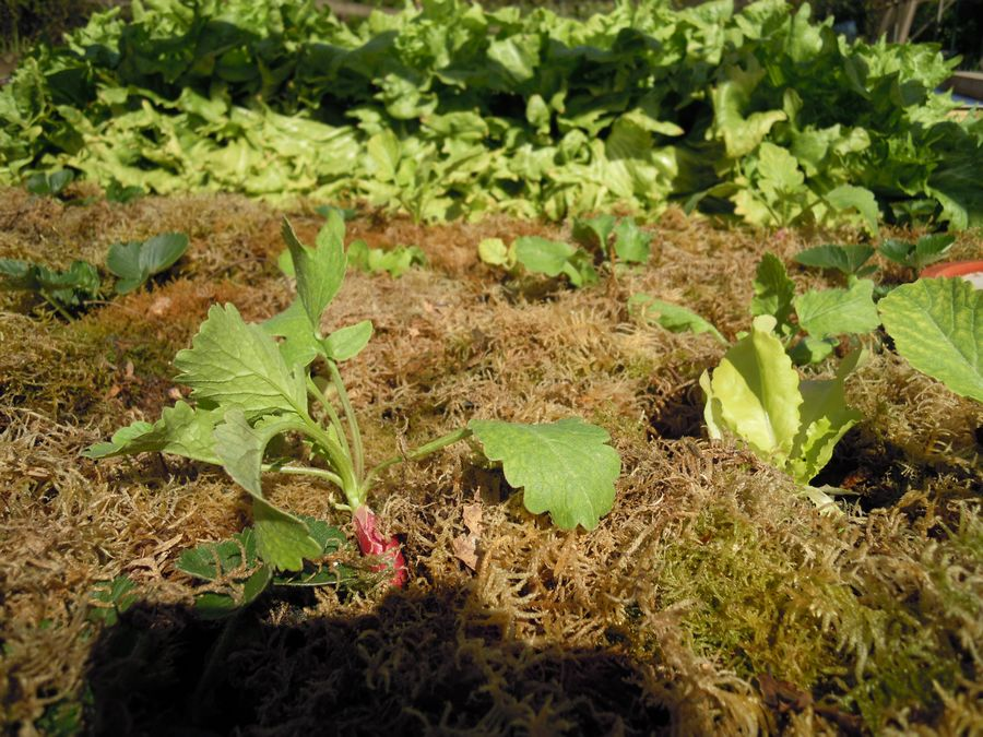 Salades, fraisiers, radis en attendant tomates, concombres, chou.  Couvert végétal permanent à base de mousses.